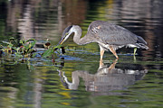Jim Nelson - Great Blue Heron