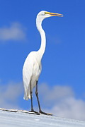 Ken Keener - Great Egret