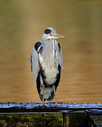 Paul Scoullar - Grey Heron