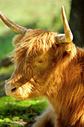 Franklin Farm Metal Prints - Highland Cow Metal Print by Brian Jannsen
