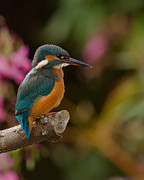 Paul Scoullar - Kingfisher