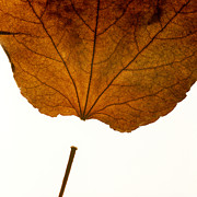 Aging Photos - Leaf by Bernard Jaubert