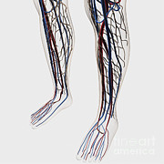 Human Body Parts Posters - Medical Illustration Of Arteries, Veins Poster by Stocktrek Images