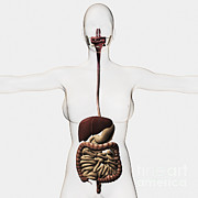 Human Body Parts Posters - Medical Illustration Of The Human Poster by Stocktrek Images