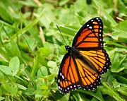 Monarch Butterfly Print by Carol Toepke