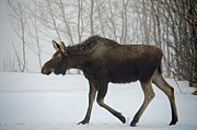Winter Photos Prints - Moose Print by Debra  Miller