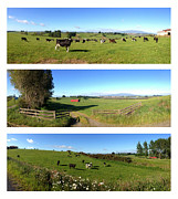 Grazing Cow Posters - New Zealand Poster by Les Cunliffe
