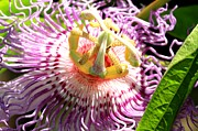 Passionfruit Posters - Passion Flower Poster by Geri Scull