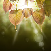 Autumn Light Prints - Pho Or Bodhi Print by Atiketta Sangasaeng