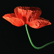 Falko Follert Art - Poppy by Falko Follert