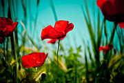 Plant Pyrography Posters - Poppy field and sky Poster by Raimond Klavins