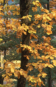 Nature Photographs Posters - Russian autumn Poster by Anonymous