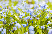Early Photo Prints - Spring blue flowers glory-of-the-snow Print by Elena Elisseeva