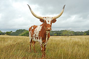 Texas Longhorns Photos - Standing Tall by Robert Anschutz