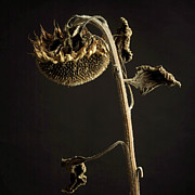 Single Object Art - Sunflower by Bernard Jaubert