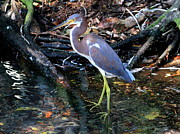 Ken Keener - Tri-Colored Heron