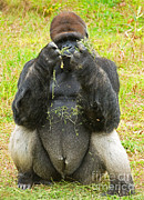 Critically Endangered Species Prints - Western Lowland Gorilla Male Print by Millard H. Sharp