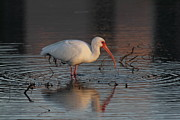 Meg White Prints - White Ibis Photo Print by Meg Rousher