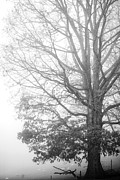 Refreshing Posters - White Oak Tree in Fog Poster by Thomas R Fletcher