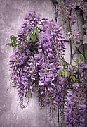 Purple Flowers Digital Art - Wisteria by Jessica Jenney
