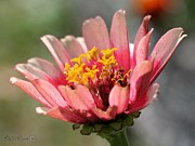 Whirligig Framed Prints - Zinnia from the Whirlygig Mix Framed Print by J McCombie