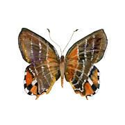 Orange And Brown Wings Posters - 60 Euselasia Butterfly Poster by Amy Kirkpatrick
