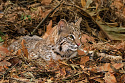 Felis Rufus Prints - 611000006 Bobcat Felis Rufus Wildlife Rescue Print by Dave Welling