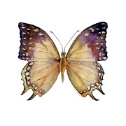 Watercolor. Butterfly Paintings - 63 Great Nawab Butterfly by Amy Kirkpatrick
