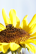 Bee Metal Prints - Bee on flower Metal Print by Les Cunliffe