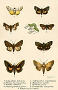 Insect Prints - Butterflies Print by English School