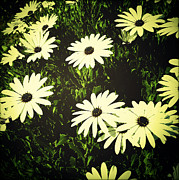 Delicate Bloom Prints - Daisies Print by Les Cunliffe