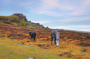 Horse Hill Prints - Dartmoor Print by Joana Kruse
