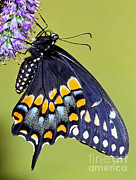 Fauna Metal Prints - Eastern Black Swallowtail Butterfly Metal Print by Millard H. Sharp