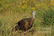 Eastern Wild Turkey Print by Linda Freshwaters Arndt