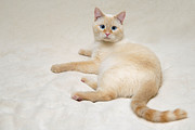 Flame Point Prints - Flame Point Siamese Cat Print by Amy Cicconi