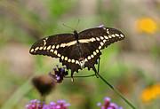 Giant Swallowtail Butterfly Print by Karen Adams