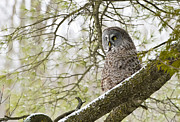 Wildlife Photography Prints - Great Gray Owl Print by Michael Cummings