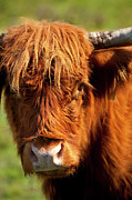 Franklin Tennessee Photo Prints - Highland Cow Print by Brian Jannsen
