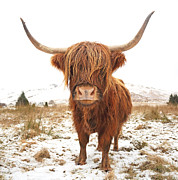Winter Prints Photos - Highland Cow by Grant Glendinning