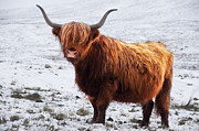 Keith Thorburn - Highland Cow