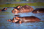 Immersed Framed Prints - Hippopotamus in river. Serengeti. Tanzania Framed Print by Michal Bednarek
