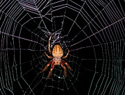 Creepy Crawly Posters - 7 Legged Spotted Orb Weaver Poster by Lara Ellis