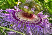 Passionfruit Metal Prints - Passion Flower Metal Print by Geri Scull