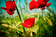 Natural Pyrography Posters - Poppy field and sky Poster by Raimond Klavins