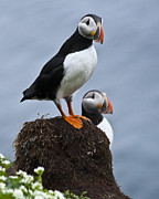 Puffin Framed Prints - Puffins Framed Print by Heiko Koehrer-Wagner