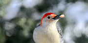 Jim Nelson - Red-Bellied Woodpecker