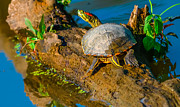 Yellow Slider Posters - Red Eared Slider Poster by Brian Stevens