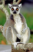 Lemur Catta Posters - Ring Tailed Lemur Poster by Millard H. Sharp