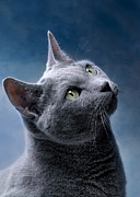 Blue Cat Posters - Russian Blue Cat Poster by Nailia Schwarz