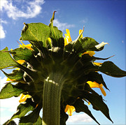 Sunflower Photograph Posters - Sunflower Poster by Les Cunliffe